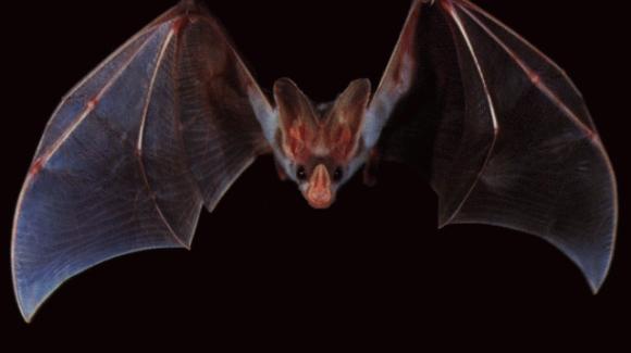 تجارت میلیونی خفاشها در بوکان شایعه است
