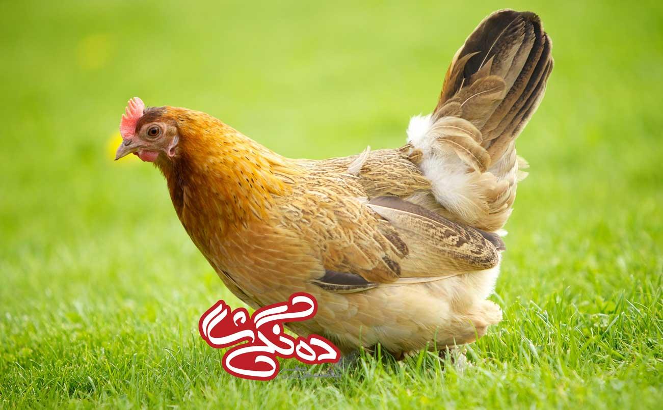مرغ های دارای وزن و سن کم، سالمتر هستند!