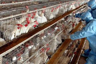 زنگ خطر آنفلوانزای فوق حاد پرندگان به صدا در آمد